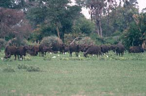 Steppenbüffelherde auf Chief's Island, Moremi Game Reserve, Botsuana. / Herd of cape buffaloes on Chief's Island, Moremi Game Reserve, Botswana. / (c) Walter Mitch Podszuck (Bwana Mitch) - #991228-030
