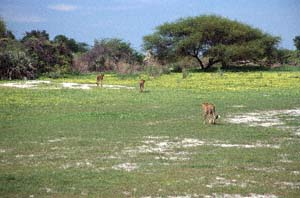 Drei Geparde auf Blumenwiese vor Schirmakazie. Chief's Island, Moremi Game Reserve, Botsuana. / Three cheetahs on flower meadow in front of umbrella thorn. Chief's Island, Moremi Game Reserve, Botswana. / (c) Walter Mitch Podszuck (Bwana Mitch) - #991228-077