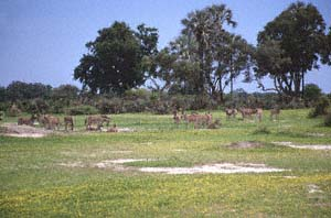 Steppenzebraherde vor Fächerpalmen und Akazien. Chief's Island, Moremi Game Reserve, Botsuana. / Herd of plains zebras in front of real fan palms and thorn trees. Chief's Island, Moremi Game Reserve, Botswana. / (c) Walter Mitch Podszuck (Bwana Mitch) - #991228-086