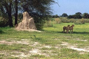 Zwei Geparde neben einem Termitenhügel. Chief's Island, Moremi Game Reserve, Botsuana. / Two cheetahs beside a termite mound. Chief's Island, Moremi Game Reserve, Botswana. / (c) Walter Mitch Podszuck (Bwana Mitch) - #991230-033